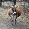 New year, new calves . . .
