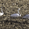 Trumpeter Swan Sighting