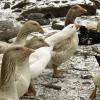 A goose tale