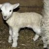 A lamb at last