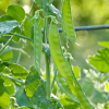 Photographing the peas