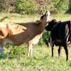 A short strange cow tale