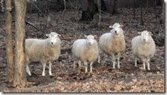 1-1-sheep