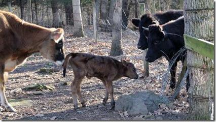 1-4-cow6