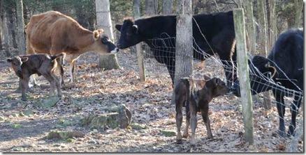 1-4-cow8