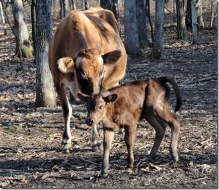 1-5-cow2