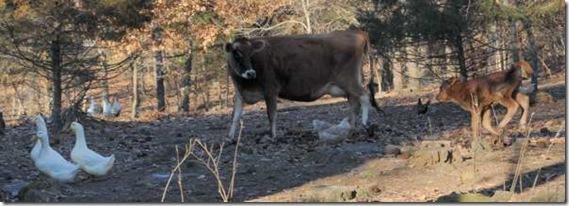 1-5-cows6