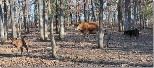 1-5-cows9