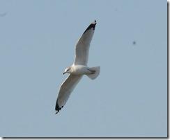 1-6-gull
