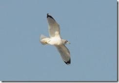 1-6-gull2