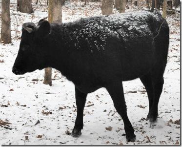 cows3