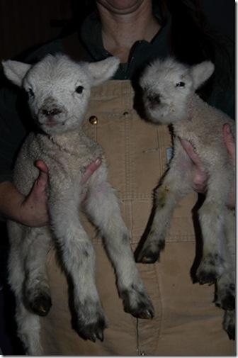 Tiny & Lamb Chops - Daisy x Wilbur - 1/2 Babydoll Southdown, 1/4 Shetland, 1/4 Corriedale