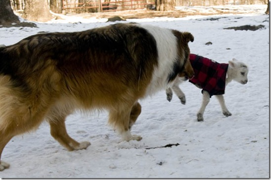 Bebe, the farmcollie, tries to catch Tiny for a quick face-licking.