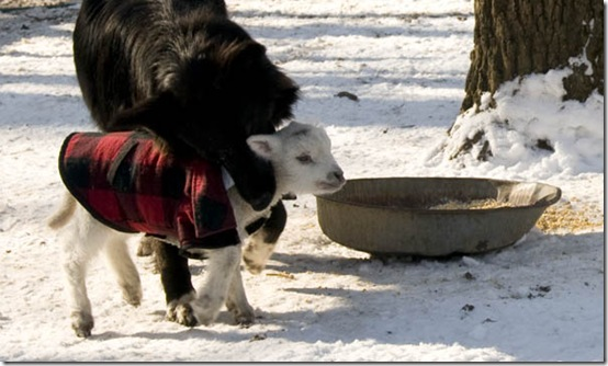 Dinah, the farmcollie, catches Tiny.