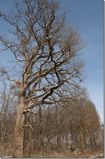 roadside oak