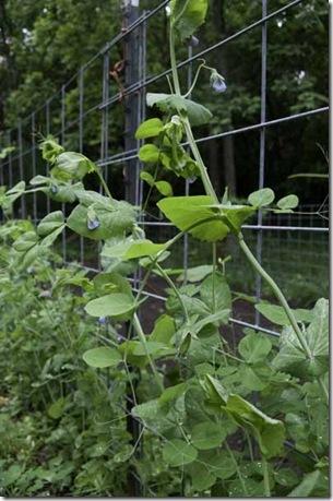 6-22-09-peas