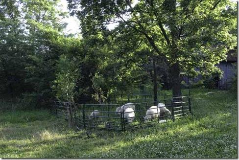 6-22-09-sheep