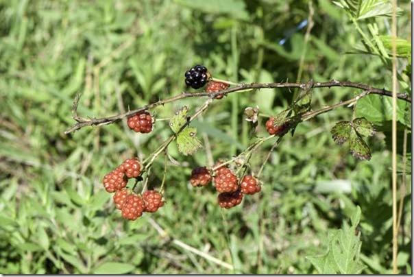 6-29-09-blackberries