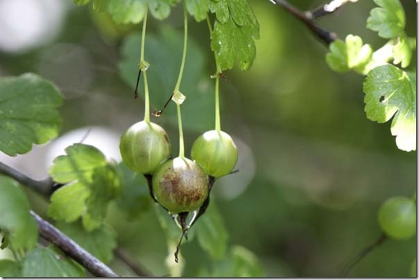 6-29-09-gooseberries
