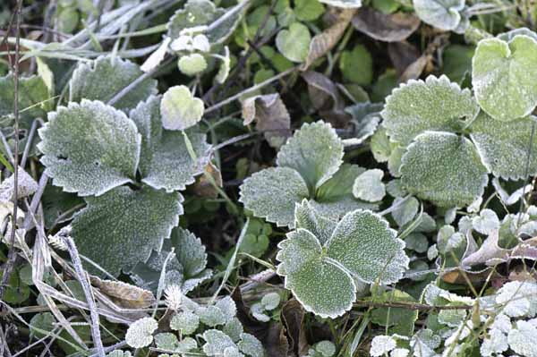 Strawberry leaves among the weeds