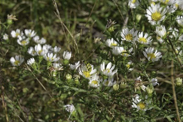 White Heath Asters