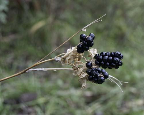 Blackberry Lily seedhead