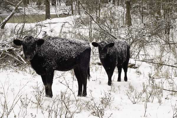 12-28-icedcattle