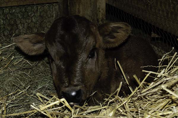 Cocoa likes her dark, sheltered corner in the barn stall.