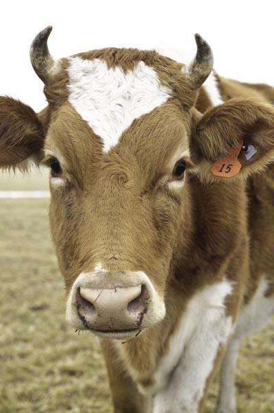 10-1-26-cowface