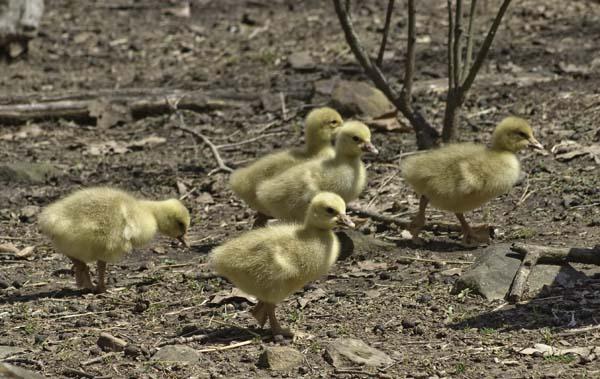 10-3-1-goslings