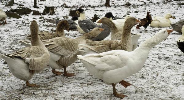 10-3-13-goose10