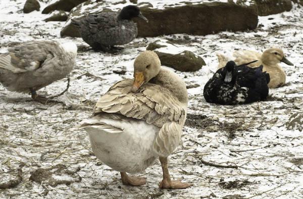 10-3-13-goose4