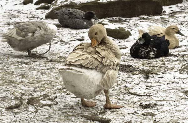 10-3-13-goose5