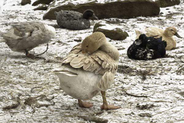10-3-13-goose6