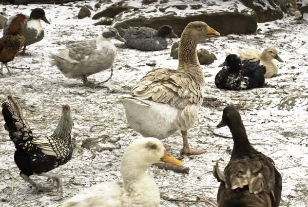 10-3-13-goose8