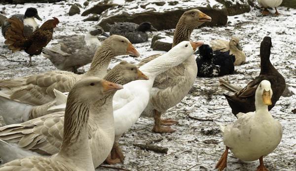 10-3-13-goose9