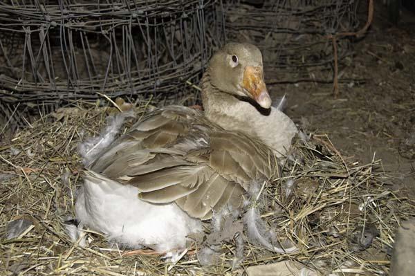 10-4-10-goose