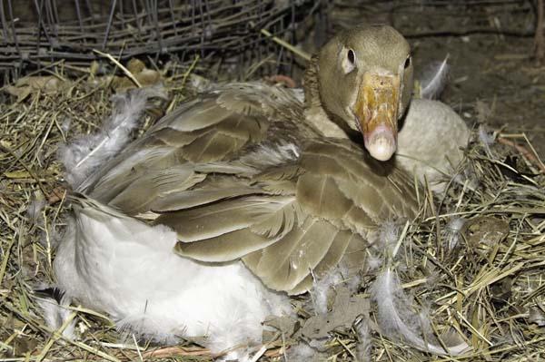 10-4-10-goose2