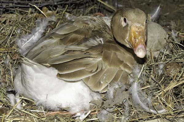 10-4-10-goose3