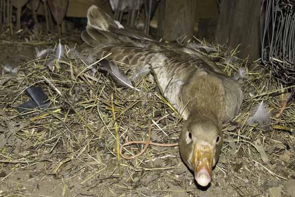10-4-10-goose4