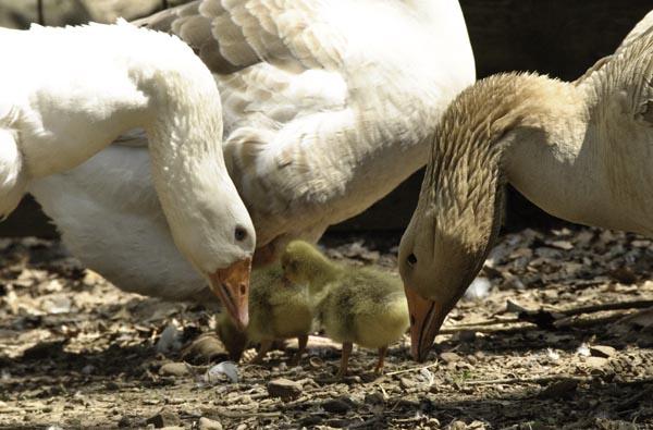 10-4-15-gosling1