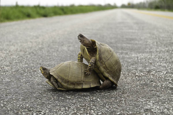 10-4-17-turtle6