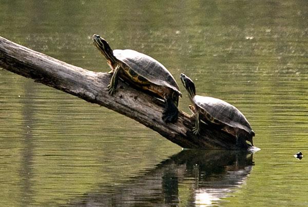 10-4-20-turtles