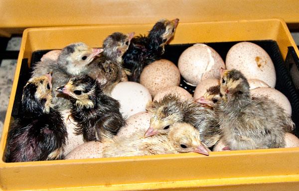 10-4-26-poults