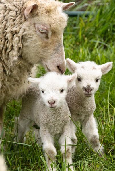 10-4-29-lambs