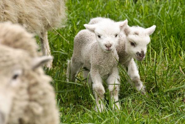 10-4-29-lambs2