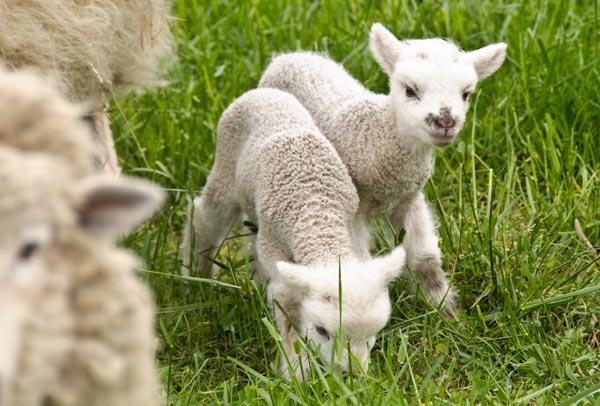 10-4-29-lambs3