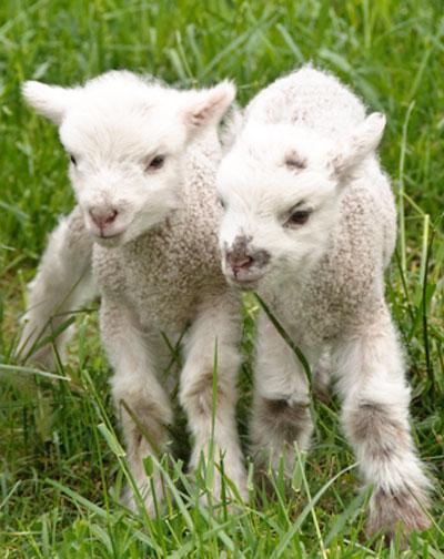 10-4-29-lambs4