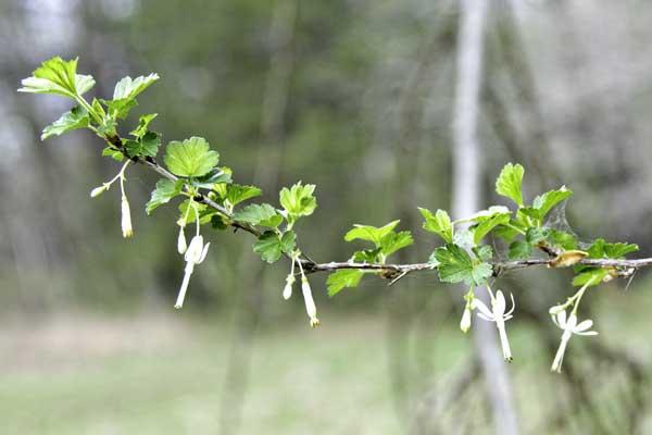 10-4-7-gooseberry