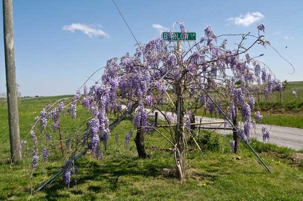 10-5-10-wisteria